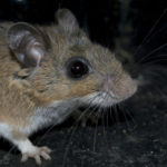 Close-up a mouse